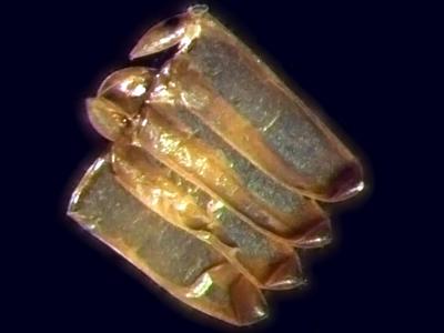 """Diferentemente do <EM>A. aegypti</EM>, que dissemina seus ovos por diversos criadouros, o <EM>Culex</EM> deposita na água, sempre juntos, no mesmo criadouro. Uma substância viscosa os une, formando uma """"jangada"""" com dezenas de ovos, de pé, flutuando na água (Fotos: Gustavo Rezende)"""