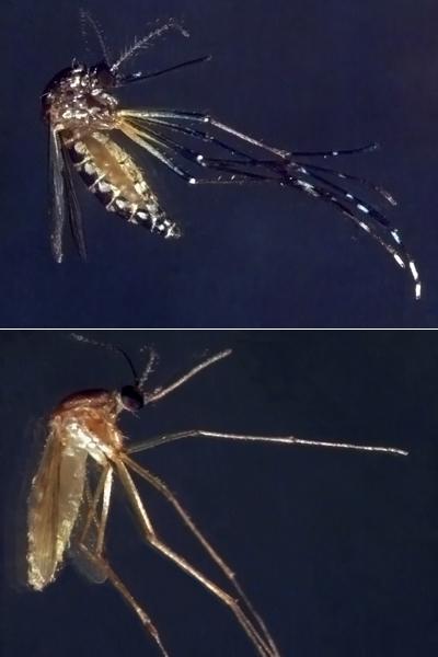 O <EM>A. aegypti</EM> é escuro e apresenta marcações brancas nas pernas e no corpo, enquanto o <EM>Culex</EM>tem coloração marrom. Além disso, os dois têm hábitos bastante diferenciados em relação aos seus criadouros preferenciais e horários de maior atividade