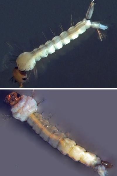 As larvas do <EM>Culex (</EM>em cima) preferem água suja, com grande quantidade de matéria orgânica em decomposição. As de<EM> A. aegypti</EM> (abaixo) não resistem em ambientes poluídos