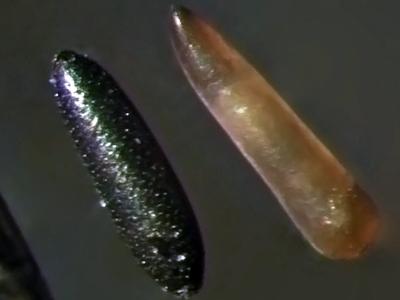Os ovos do<EM> A. aegypti </EM>(esq.) têm grande resistência à dessecação, podendo podendo permanecer fora da água por até um ano. Os ovos de <EM>Culex</EM> (dir.) murcham assim que são retirados da água