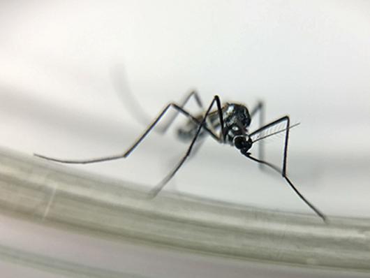 Os mosquitos Haemagogus, como o Hg. leucocelaenus, são vetores primários da febre amarela silvestre (foto: Josué Damacena)