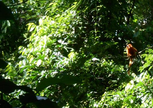 O mico-leão-dourado é uma espécie de primata exclusiva da Mata Atlântica brasileira (foto: Fiocruz Mata Atlântica)